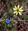 [Flowers (the blue one was about 3/8 inch or 1 cm across)]