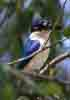 [Forest kingfisher (Fogg Dam)]