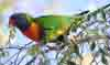 [Rainbow Lorikeet (Medindie Lane)]